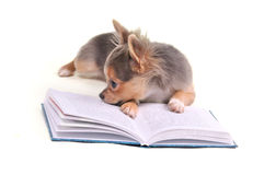 Thoughtful chihuahua puppy reading a book Royalty Free Stock Photos
