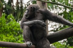 Chimp in zoo. Thoughtful chimp resting in a zoo Royalty Free Stock Photography