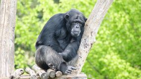 Thoughtful chimpanzee in a zoo. Thoughtful chimpanzee on wooden platform in a zoo stock photography