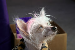 Thoughtful Chinese Crested Dog. This Chinese Crested dog has won ugliest dog contests stock photo