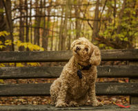 Thoughtful Cockapoo sitting on park bench. Royalty Free Stock Photo