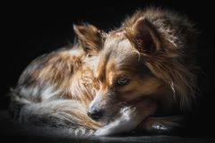 Thoughtful contrasty mixed race dog sunlit. While daydreaming about something dogs daydream about Stock Photography