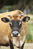 Thoughtful cow Stock Photography