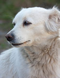 Thoughtful dog Royalty Free Stock Images