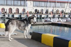 Thoughtful dog breed Husky stands against the background of yachts royalty free stock photography