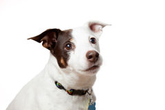 Thoughtful Doggy. A close up of a thoughtful doggy Royalty Free Stock Photos