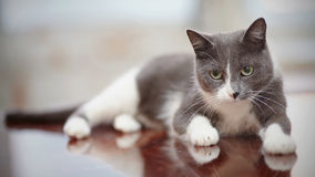 Thoughtful domestic cat of a smoky-gray color Royalty Free Stock Image
