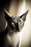 Thoughtful Egyptian cat Royalty Free Stock Photo