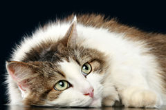 Thoughtful fluffy cat Stock Images