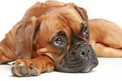 Thoughtful German boxer puppy (5 month) Royalty Free Stock Photo