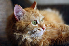 Thoughtful ginger cat laying on the sofa Royalty Free Stock Photo