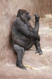 Thoughtful gorilla Stock Images