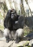 Thoughtful Gorilla. Older gorilla scratching head looking thoughtful stock image