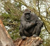 Thoughtful gorilla on a tree. Thoughtful gorilla sitting on top of broken dead tree Royalty Free Stock Photos