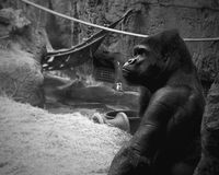 Thoughtful Gorilla. In the zoo Stock Photo