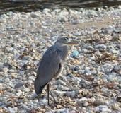 Thoughtful gray heron stock photos