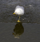 Thoughtful gull Stock Images