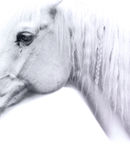 Thoughtful horse. Thoughtful white horse with a mane in pigtails Royalty Free Stock Photo