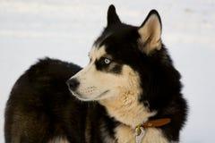 Thoughtful husky dog Royalty Free Stock Images