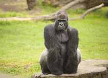 Thoughtful intellegence from silverback gorilla Royalty Free Stock Photos