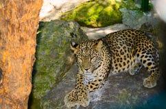 Thoughtful jaguar Royalty Free Stock Photos