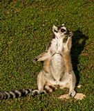 A thoughtful lemur Stock Image