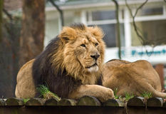 Thoughtful lion Royalty Free Stock Photography