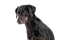 Thoughtful little black dog Stock Photos
