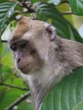 Thoughtful macaque Stock Images