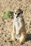 Thoughtful meerkat. Stock Images