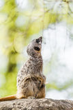 Thoughtful meerkats Royalty Free Stock Image