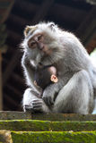 Thoughtful monkey with a baby Stock Images