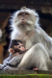 Thoughtful monkey with a baby Stock Photography