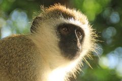 A thoughtful monkey portrait. The inhabitants of the jungle royalty free stock photos