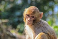 A thoughtful monkey portrait. The inhabitants of the jungle stock photo