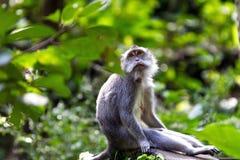 Thoughtful monkey in Ubud forest, Bali Stock Photos
