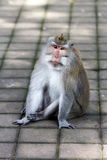 Thoughtful monkey in Ubud forest, Bali Stock Photography