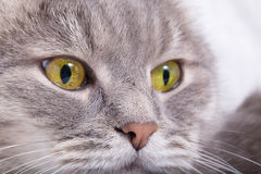 Thoughtful muzzle of a gray cat Stock Photo