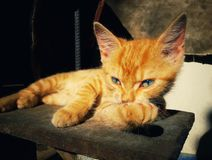 Thoughtful kitty posing Royalty Free Stock Images
