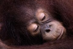 Thoughtful Orangutan. A young Orangutan rests its head in its arms in Sabah, Malysian Borneo Stock Image