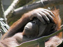 Thoughtful orangutan. In hammock in the middle of summer Sunday Royalty Free Stock Photography