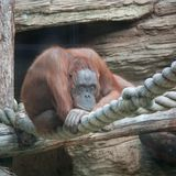 Thoughtful orangutan Stock Images