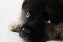 Thoughtful Puppy Royalty Free Stock Images