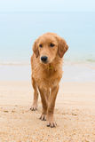 Thoughtful red dog on the sand beach Stock Images