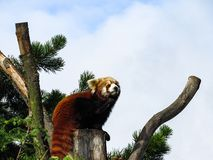 Thoughtful Red Panda Ailurus fulgens, also known as Lesser Pan. Da, Red Bear-Cat, and Red Cat-Bear, resting on a tree. Picture with room for text Royalty Free Stock Images