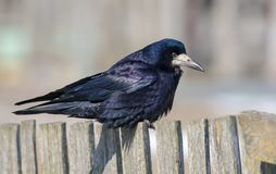 Thoughtful Rook perched on old looking fence at the early of spring royalty free stock images
