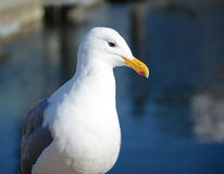 Thoughtful seagull resting near the ocean. White seagull on the background of ocean Stock Photography