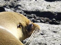 Thoughtful Sealion. Taking a sunbath in Galapagos, Ecuador Royalty Free Stock Photos