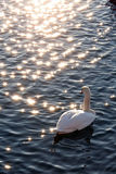 Thoughtful swan Royalty Free Stock Photography