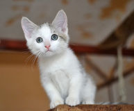Thoughtful white and gray kitten Royalty Free Stock Images